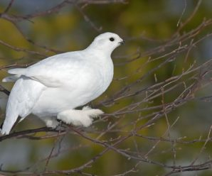 Белая куропатка – места обитания и особенности птицы