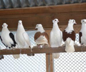 Самые интересные и популярные бойные породы голубей: в чем их уникальность