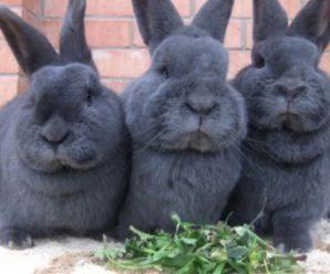 Венский голубой кролик – это источник ценного меха и диетического мяса