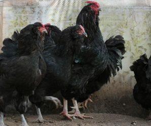 Порода кур украинская ушанка: описание, разведение и продуктивность