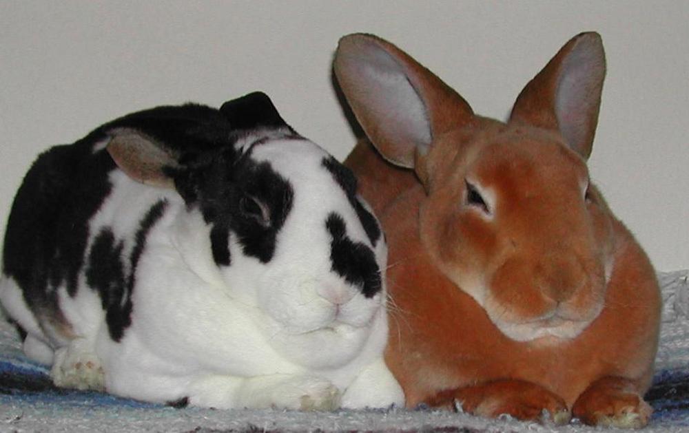 Кролики рексы