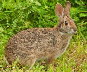 Водяной кролик: места обитания и образ жизни уникального млекопитающего