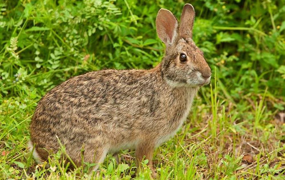 Водяной кролик