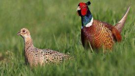 Породы фазанов