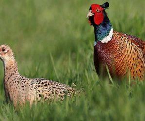 Породы фазанов: основные виды и особенности разведения в домашних условиях