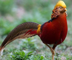 Золотой фазан: описание и особенности вида