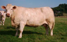 Корова Шароле
