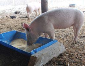 Кормушки для свиней своими руками: чертежи и видео 26