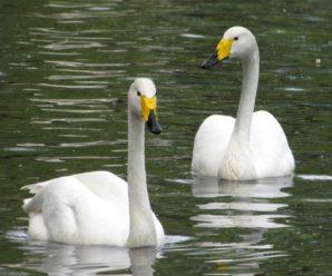 Лебедь-кликун: отличительные характеристики и описание вида