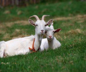 Породы дойных коз: особенности выбора и главные черты фаворитов