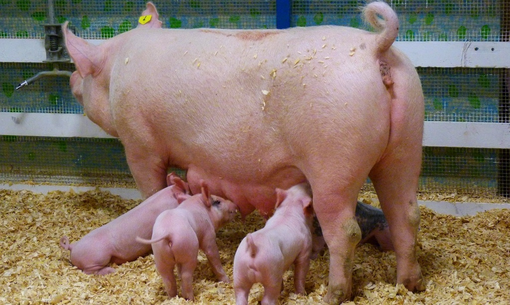 Свинарник на 2 головы своими руками