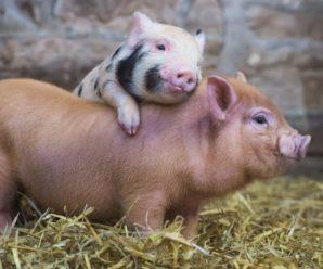 Особенности планировки и строительства свинарника на две головы своими руками