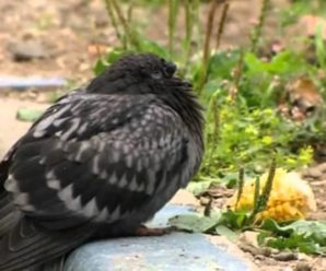 Что такое орнитоз у голубей: опасность заболевания, симптомы и лечение