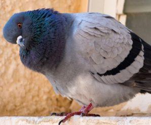 Как лечить сальмонеллез у голубей: народные методы и лекарственные средства