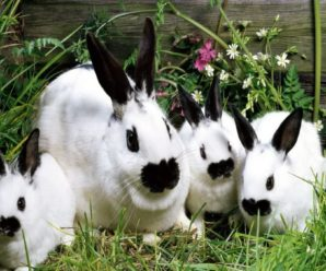Геморрагическая болезнь кроликов – причины, лечение, профилактика