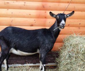 Альпийские козы — непритязательная порода для рачительного хозяина