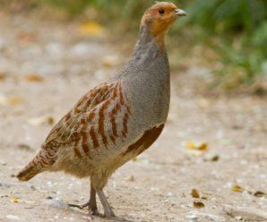 Серая куропатка – описание и характеристика скрытной северной птицы