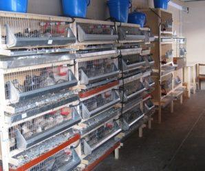 Перепелиная ферма – выгодный собственный бизнес