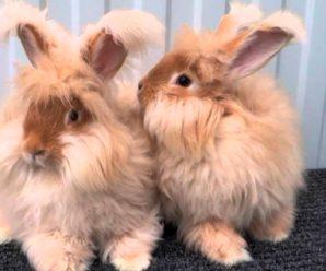 Кролик ангорский пуховый – описание и характеристика породы
