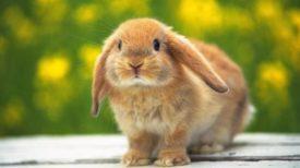 Блохи у кроликов