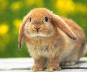 Блохи у кроликов – как обезопасить своего питомца от этих вредителей