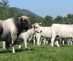 Мясные породы быков: обзор самых популярных и продуктивных видов