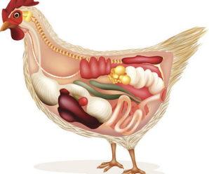Анатомия курицы и петуха – все о жизненно важных системах куриного организма