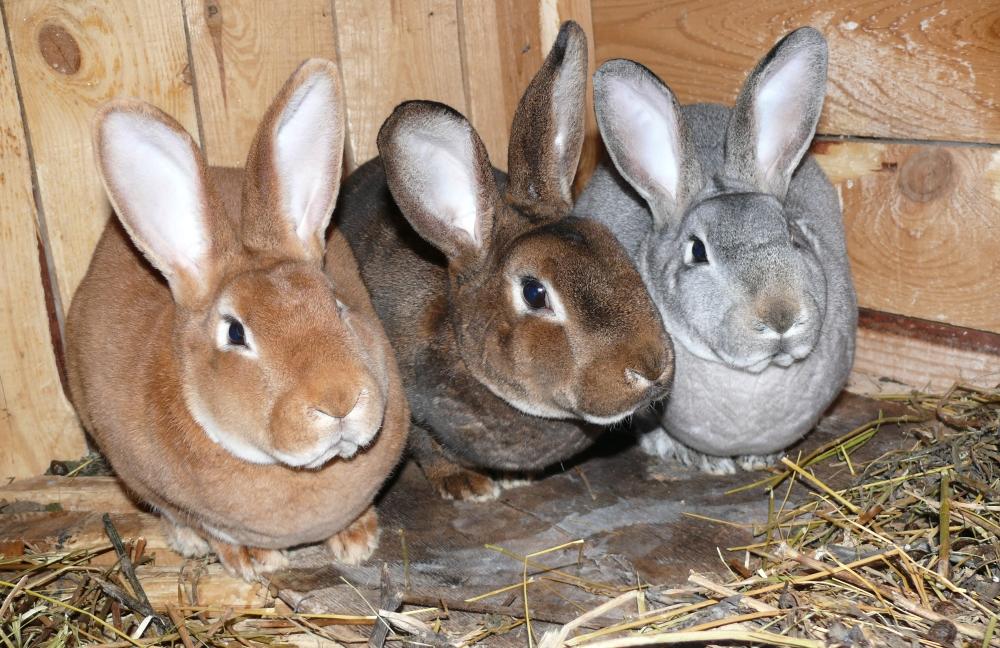 Кролики рекс