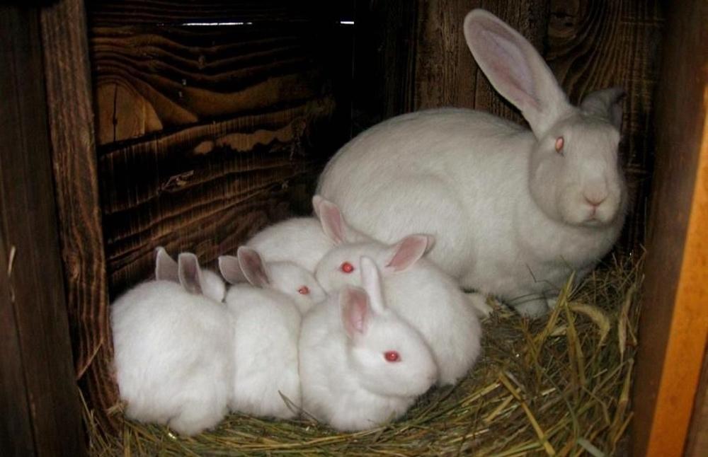 Кролики белые великаны