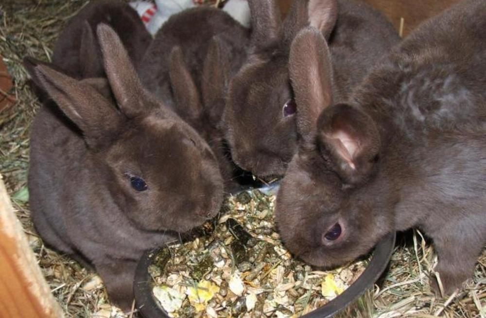 Крольчата рекс