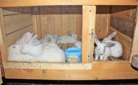 Крольчата белый великан