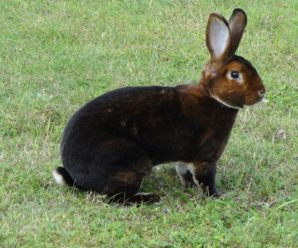 Порода кроликов Рекс – источник качественного меха неповторимых окрасов