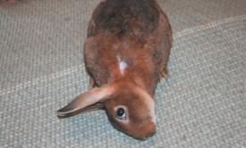 Паралич у кролика