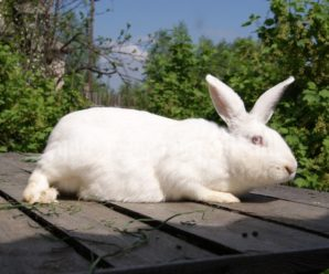 Порода кроликов Белый великан – вкусное мясо и качественная шкура