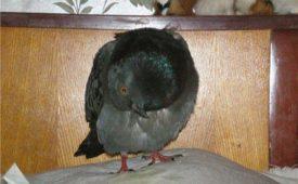 Вертячка у голубя