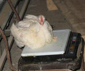 Как определить вес цыплят бройлеров по дням в соответствии с таблицей