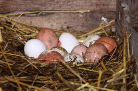 От чего зависит цвет скорлупы куриного яйца