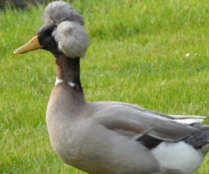 Хохлатые утки – домашние и дикие красавицы с хохолком на голове