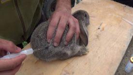 Кролику делают укол