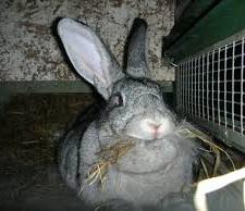 Толстый кролик