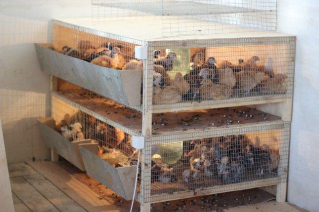 Брудеры для выращивания цыплят своими руками видео