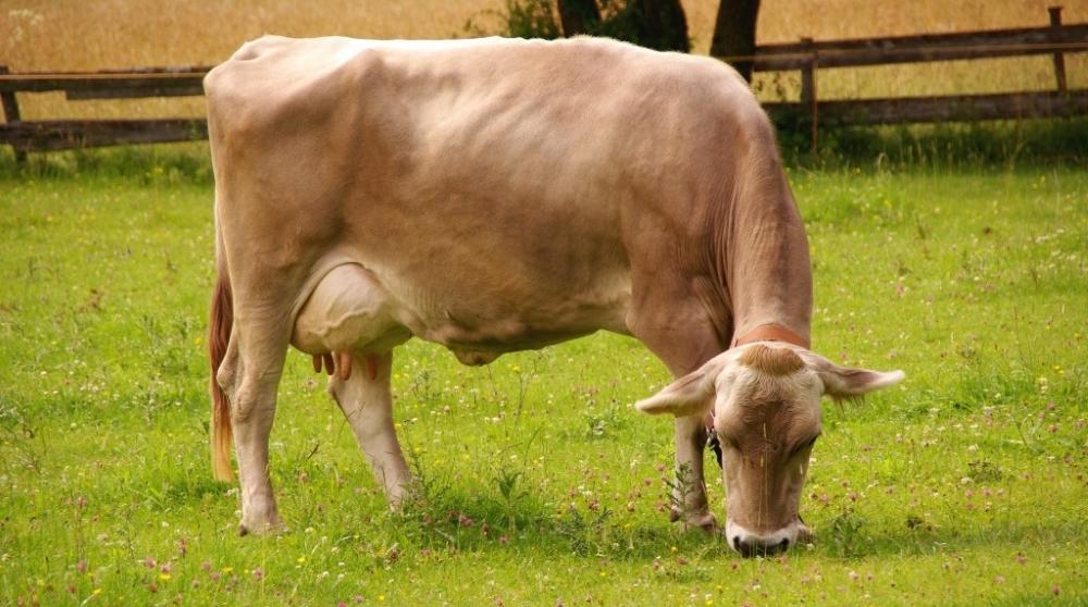 Швицкая корова