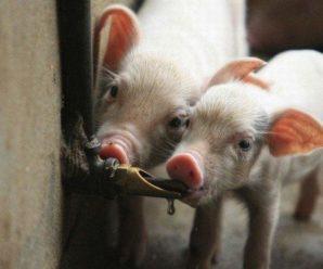 Виды и особенности поилок для свиней: изготовление своими руками