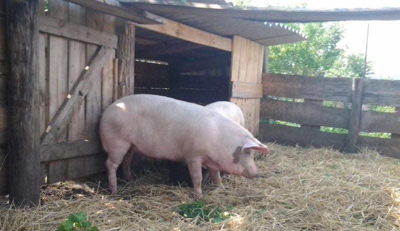 Свинарник на 4 головы своими руками 2