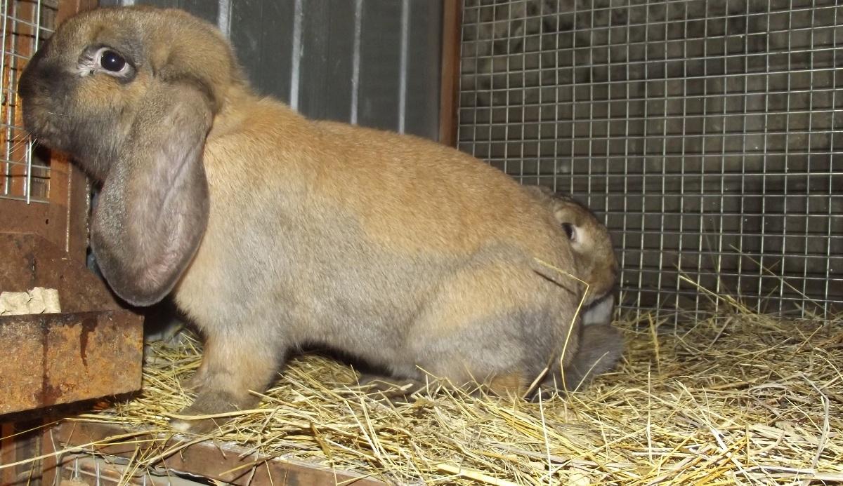 Геморрагическая болезнь кроликов