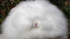Кролик ангорский пуховой