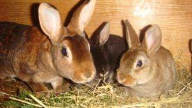 Запор у кроликов