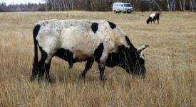 Якутская корова