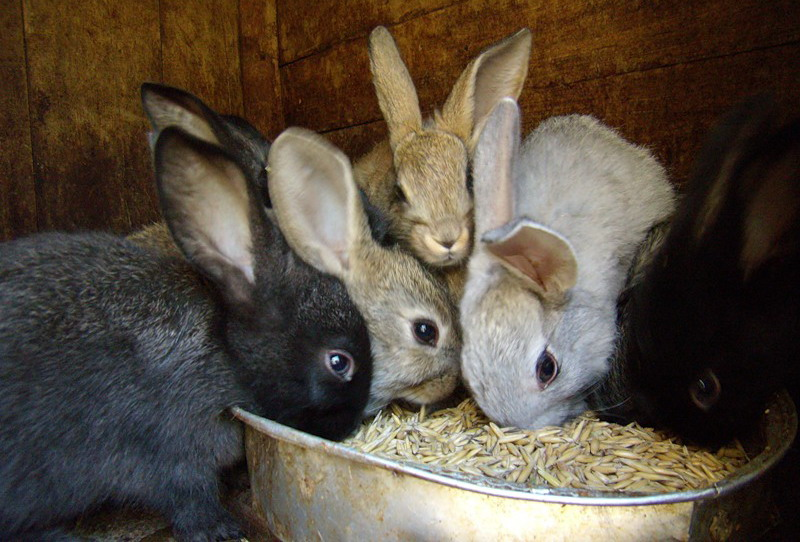Кролики едят комбикорм