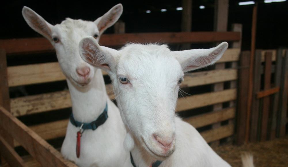 Породы дойных коз